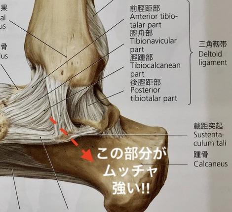 基礎解剖学「踵が安定する秘密」